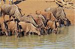 Blue wildebeest (Connochaetes taurinus) drinking water, Mkuze game reserve, South Africa   Stock Photo - Royalty-Free, Artist: EcoShow                       , Code: 400-05703227