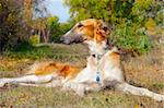 Russian wolfhound (borzoi) lying in autumn garden. Outdoors. Stock Photo - Royalty-Free, Artist: nndemidchick                  , Code: 400-05703266