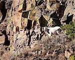 Mountain goat during fall in Yellowstone park Stock Photo - Royalty-Free, Artist: jeanro                        , Code: 400-05703799