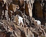 mountain goats during fall in Yellowstone park Stock Photo - Royalty-Free, Artist: jeanro                        , Code: 400-05703800
