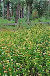 Yellow wildflowers bloom on the forest floor of Glacier National Park in Montana. Stock Photo - Royalty-Free, Artist: Wirepec                       , Code: 400-05705138