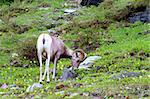 Bighorn sheep (Ovis canadensis) at Logan Pass of Glacier National Park. Stock Photo - Royalty-Free, Artist: Wirepec                       , Code: 400-05705144