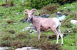 Bighorn sheep (Ovis canadensis) at Logan Pass of Glacier National Park.