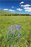 Flowers and bright green vegetation stretch over an open area of the Bighorn National Forest in Wyoming. Stock Photo - Royalty-Free, Artist: Wirepec                       , Code: 400-05705154
