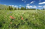 Beautiful wildflowers in the the Bighorn National Forest of Wyoming. Stock Photo - Royalty-Free, Artist: Wirepec                       , Code: 400-05705156
