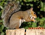 Portrait of a Grey Squirrel on a tree stump in Autumn sunshine Stock Photo - Royalty-Free, Artist: scooperdigital                , Code: 400-05705899