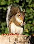 Portrait of a Grey Squirrel on a tree stump in Autumn sunshine Stock Photo - Royalty-Free, Artist: scooperdigital                , Code: 400-05705902