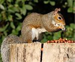 Portrait of a Grey Squirrel on a tree stump in Autumn sunshine Stock Photo - Royalty-Free, Artist: scooperdigital                , Code: 400-05705906
