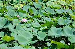 Field of Lotus plants, Nelumbo nucifera, in a japanese pond Stock Photo - Royalty-Free, Artist: Arrxxx                        , Code: 400-05706825