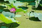 Lotus flower, Nelumbo nucifera, with green lotus leaves in a pond Stock Photo - Royalty-Free, Artist: Arrxxx                        , Code: 400-05706826