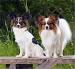 Two dog breeds Papillon sitting on the bench