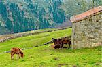 Horses Grazing on Alpine Meadows on the Slopes of The Pyrenees