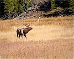 Bull elk during fall in Yellowstone national park Stock Photo - Royalty-Free, Artist: jeanro                        , Code: 400-05710502