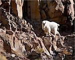 Mountain goat during fall in Yellowstone park Stock Photo - Royalty-Free, Artist: jeanro                        , Code: 400-05710505