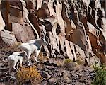 mountain goats during fall in Yellowstone park Stock Photo - Royalty-Free, Artist: jeanro                        , Code: 400-05710506