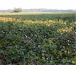 North Carolina farm as the sun comes up with acres of cotton Stock Photo - Royalty-Free, Artist: gsagi                         , Code: 400-05711989