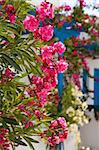 Beautiful detail of pink flowers in Perissa, Santorini, Greece
