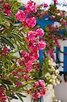 Beautiful detail of pink flowers in Perissa, Santorini, Greece Stock Photo - Royalty-Free, Artist: ElinaManninen, Code: 400-05712979