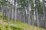 The magnificent pine forest of Valia Calda, northern Greece Stock Photo - Royalty-Free, Artist: alexandr6868                  , Code: 400-05714655