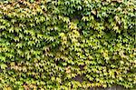 wall covered with green ivy Stock Photo - Royalty-Free, Artist: hansenn                       , Code: 400-05715934