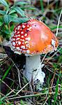 Fly agaric, amanita. Poisonous mushroom Stock Photo - Royalty-Free, Artist: Severas                       , Code: 400-05716149