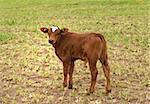 spring time young brown calf australian beef cattle