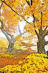 An image of a beautiful yellow autumn forest Stock Photo - Royalty-Free, Artist: magann                        , Code: 400-05716801