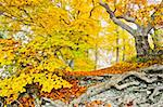 An image of a beautiful yellow autumn forest Stock Photo - Royalty-Free, Artist: magann                        , Code: 400-05716802