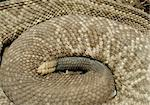 Detail of the rattlesnake body with a rattle Stock Photo - Royalty-Free, Artist: Fyletto                       , Code: 400-05717589