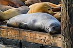 Sea Lions on the Barge at Pier 39 in San Francisco California Stock Photo - Royalty-Free, Artist: jpldesigns                    , Code: 400-05717677