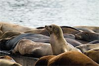 Sea Lions Sunning on Barge at Pier 39 in San Francisco California Stock Photo - Royalty-Freenull, Code: 400-05717785