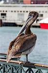Pelican by the Pier in San Francisco Bay California Stock Photo - Royalty-Free, Artist: jpldesigns                    , Code: 400-05717788