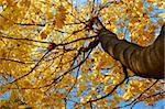 Crown of maple tree with bright yellow autumn leaves. View from below Stock Photo - Royalty-Free, Artist: qiiip                         , Code: 400-05720025