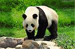 panda Stock Photo - Royalty-Free, Artist: leungchopan                   , Code: 400-05721494