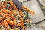 sea buckthorn as fresh orange exotic fruit Stock Photo - Royalty-Free, Artist: jonnysek                      , Code: 400-05721563