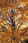 old autumn tree as nice autumn background Stock Photo - Royalty-Free, Artist: jonnysek                      , Code: 400-05721564
