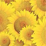 Stylized sunflowers head background. Illustration for design. Stock Photo - Royalty-Free, Artist: dvarg                         , Code: 400-05723096
