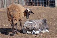 Flock of sheep, The Omañas, Leon, Spain Stock Photo - Royalty-Freenull, Code: 400-05724021