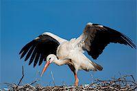 Stork, Vitoria, Alava, Spain Stock Photo - Royalty-Freenull, Code: 400-05724023