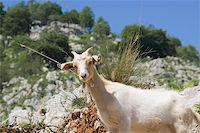 Goat in Picos de Europa, Asturias, Spain Stock Photo - Royalty-Freenull, Code: 400-05724024