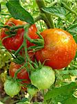 bunch of red and green tomatoes growing on the branch Stock Photo - Royalty-Free, Artist: DLeonis                       , Code: 400-05724345