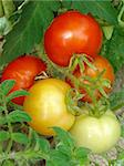 bunch of tomatoes ripening on the branch Stock Photo - Royalty-Free, Artist: DLeonis                       , Code: 400-05724349