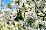 Beautiful blooming apple tree in the spring Stock Photo - Royalty-Free, Artist: Fyletto                       , Code: 400-05725661