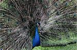 The bird peacock peafowl with his tail feathers Stock Photo - Royalty-Free, Artist: marphotography                , Code: 400-05725990