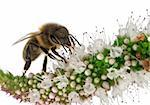 Female worker bee, Anthophora plumipes, on plant in front of white background Stock Photo - Royalty-Free, Artist: isselee                       , Code: 400-05726795