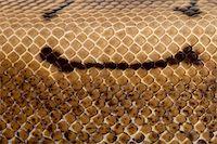 snake skin - Close-up of Spinner Python, Royal python skin, ball python, Python regius, 2 years old Stock Photo - Royalty-Freenull, Code: 400-05727359