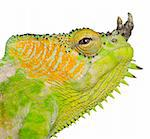 Close-up of Four-horned Chameleon, Chamaeleo quadricornis, in front of white background Stock Photo - Royalty-Free, Artist: isselee, Code: 400-05727370