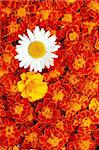 White daisy flower in the middle of french marigold Stock Photo - Royalty-Free, Artist: smarnad                       , Code: 400-05730903