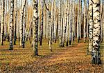 Pathway in autumn birch grove in october Stock Photo - Royalty-Free, Artist: ElenaKovaleva                 , Code: 400-05730905