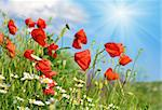 Summer beautiful red poppy and white camomile flowers on blue sky with sunshine background Stock Photo - Royalty-Free, Artist: Yuriy                         , Code: 400-05731006